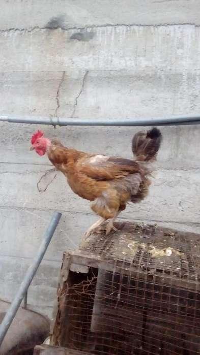 VENTA DE GALLINAS Y GALLOS----y pollitos huevo verdes