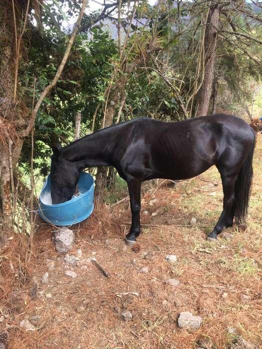 VENDO <strong>caballo</strong> PASO FINO PURO