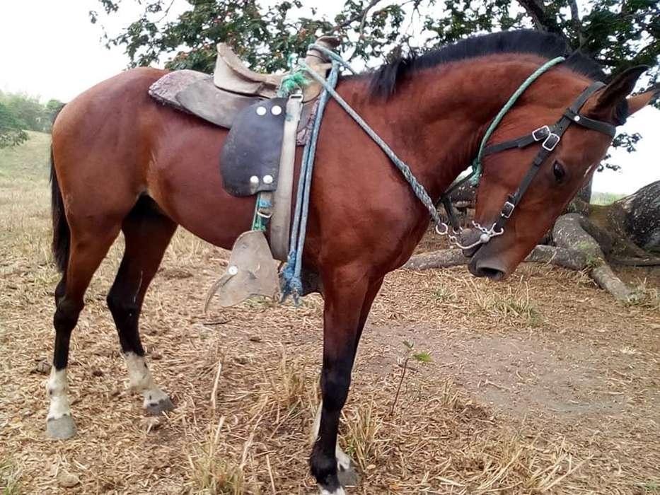 <strong>caballo</strong> criollo