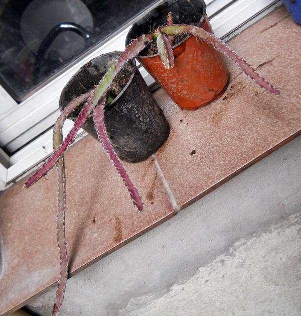 cactus rhipsalis cruciformis maceta 10