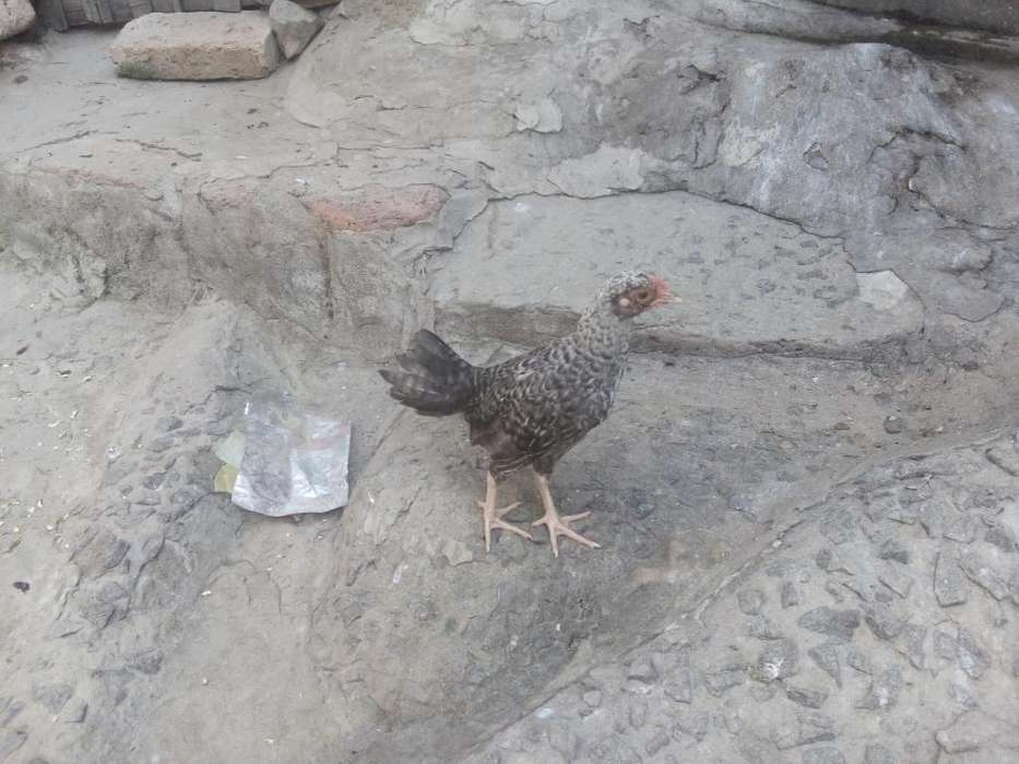 Bendo <strong>pollos</strong> Chiricano Y Traumado Cn Fin
