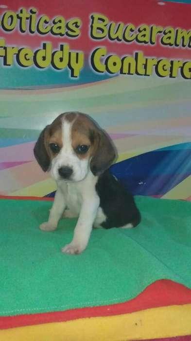 <strong>beagle</strong>s Pagicos Pet