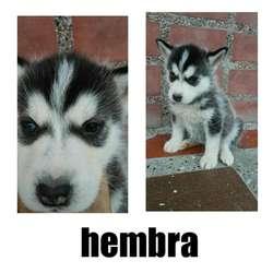 Adorables Cachorros de Lobo Husky