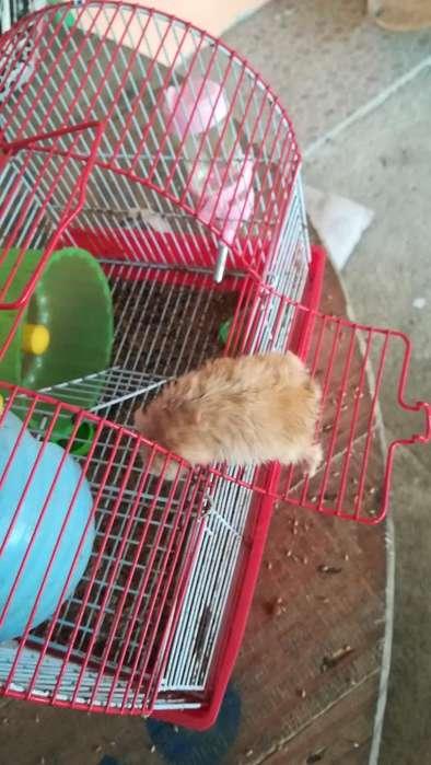 Se Vende Hamster con Jaula