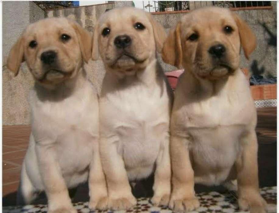 <strong>cachorro</strong>s Labrador