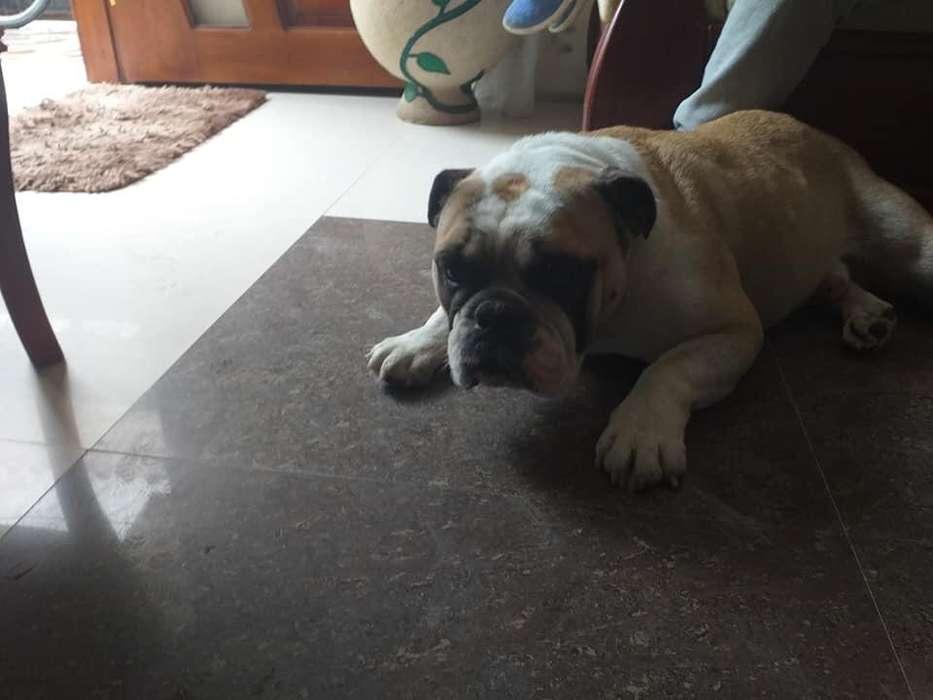 Perro Bull Dog Ingles (Monta)