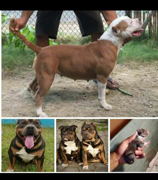 <strong>cachorro</strong>s American Bully Disponibles