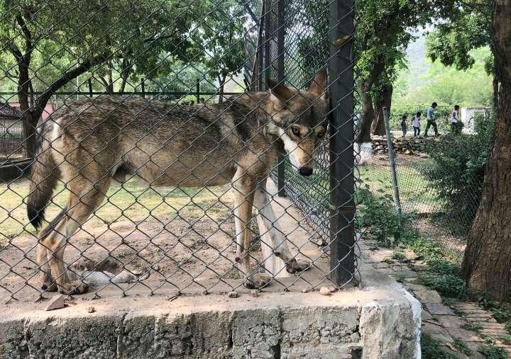 vendo lobo para cuido o en adopcion
