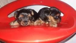 Preciosos Cachorritos Yorkshier
