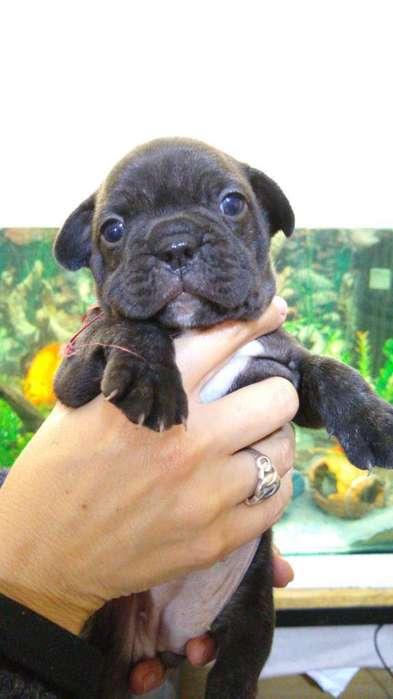 Vendo Bulldog Francés