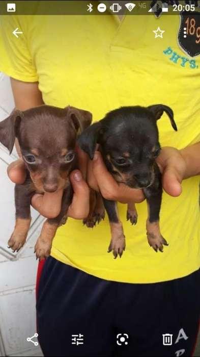 Adorables Doberman Miniatura