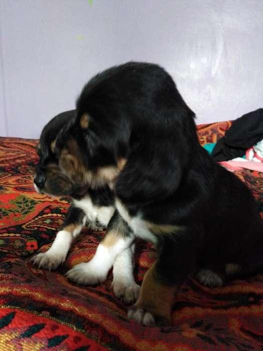 Cachorras Beagle