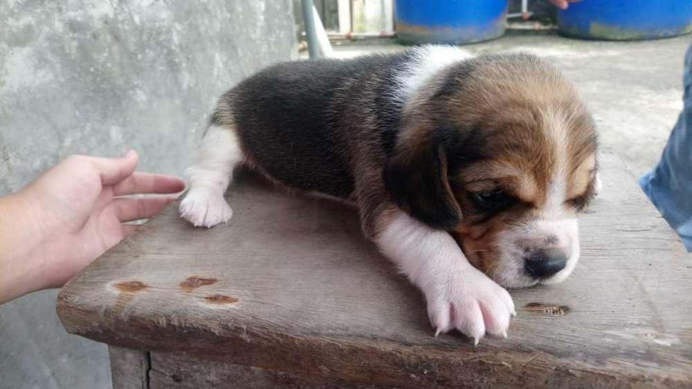 Vendo Beagle 0991459872