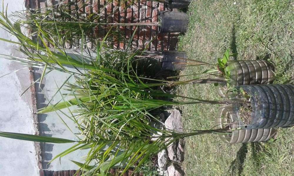Palmeras y Plantines de pindó