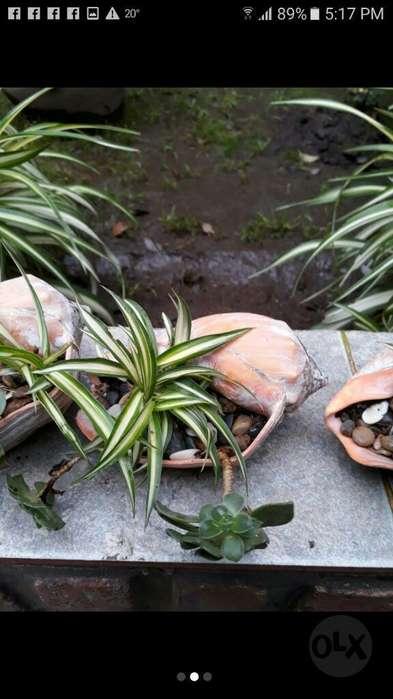 Vendo Caracoles Marinos con Plantas