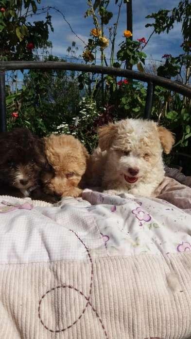Hermosos Cachorros French Toy