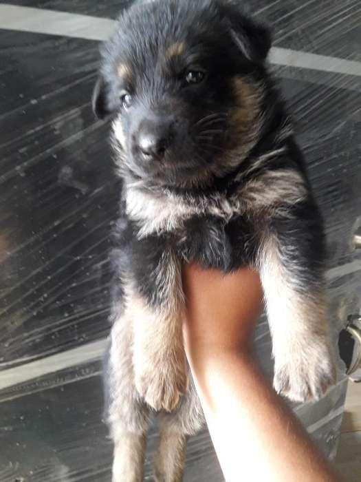 Vendo Perros Pastor Aleman Buena Genetic