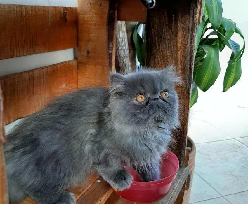 Gato Persa Extremo Azul