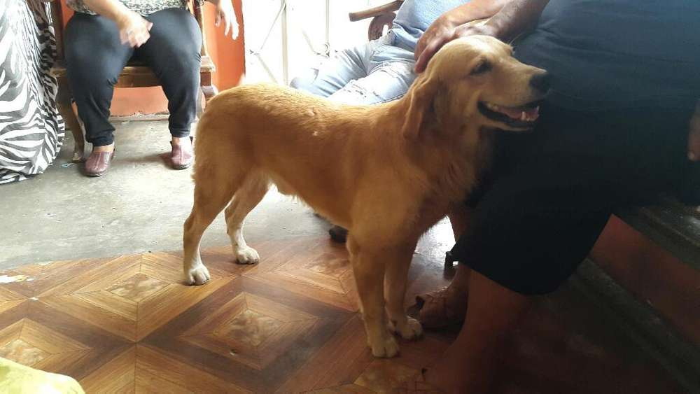 Golden Retriever (macho)para Monta