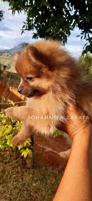 Hermosos <strong>cachorro</strong>s Pomerania Dispo