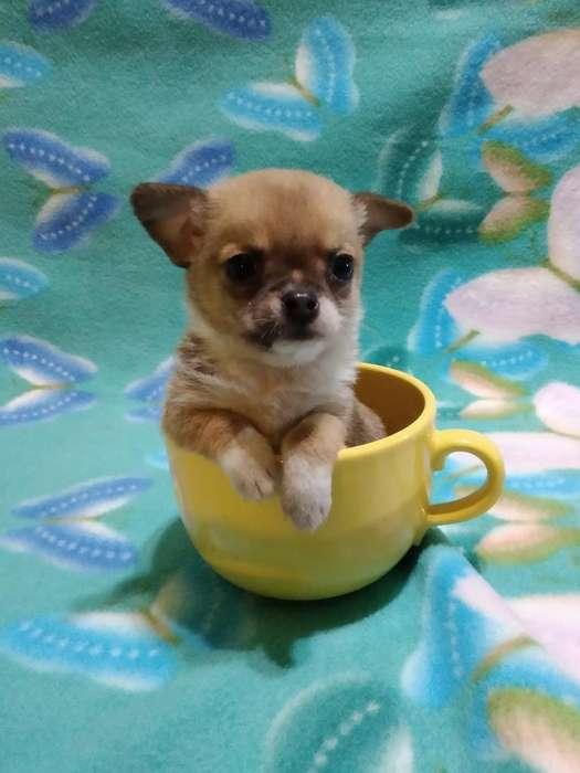 Chihuahua Machito de Bolsillo