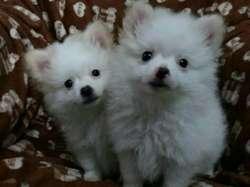 Bellos Cachorros Pomerania, 2meses Beige