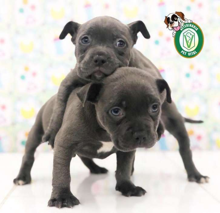 CACHORROS TIERNOS PITBULL BLUE NOSE EN PET VITAL !!!