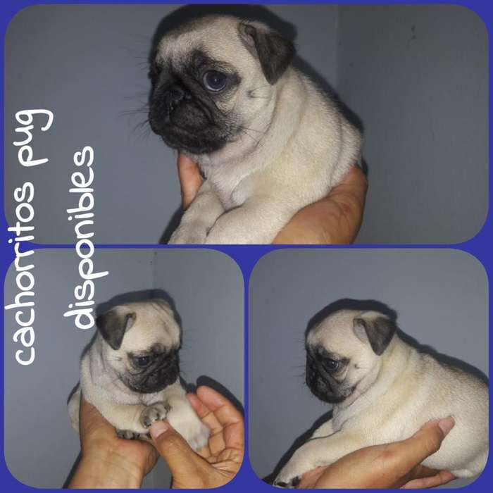 Cachorros Pug, <strong>perro</strong>s Pug, Pugs, Cachorr