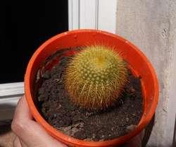 cactus parodia leninghaussi en maceta 12