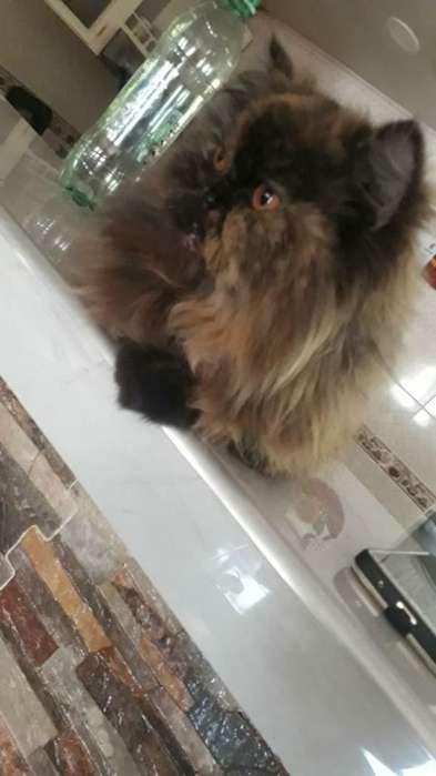 <strong>gato</strong>s Persas Puros de 11 Meses