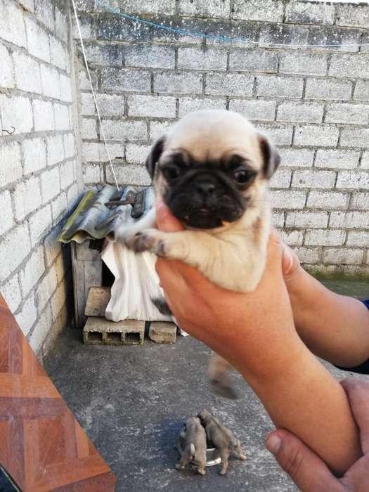Cachorras Pug 0999222799