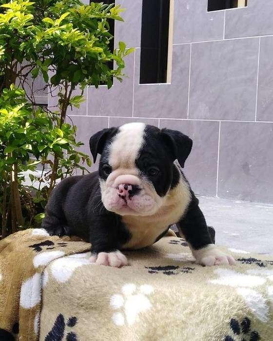 *CACHORRITA <strong>bulldog</strong> INGLES BUEN PRECIO*