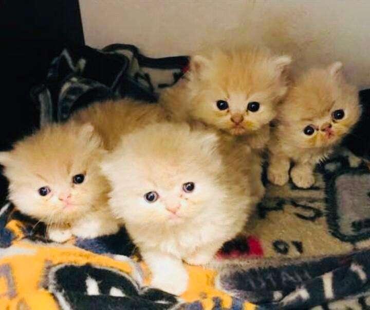 Se Venden Hermosos Gatos Hihgland Fold Y