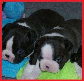 !!!!MARAVILLOSOS BOSTON <strong>terrier</strong> CACHORROS EN VENTA!!!!