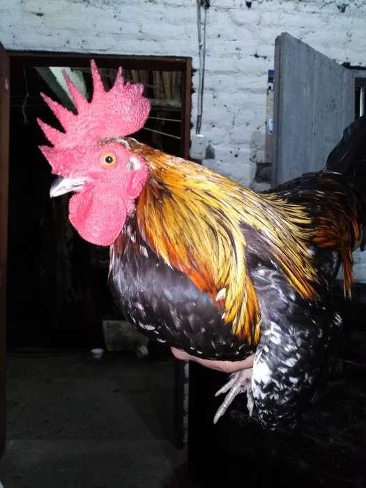 Vendo <strong>gallo</strong> Kike