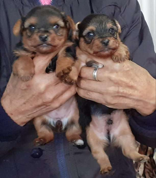 Raza Pura Cachorrs Yorkshire Terrier Toy