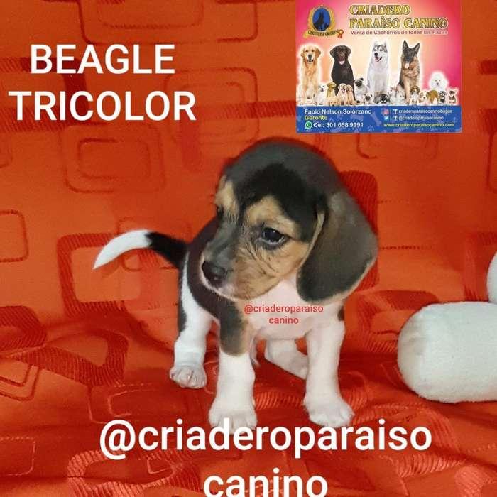 Cachorrito <strong>beagle</strong> Tricolor