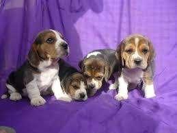 cariñosos <strong>beagle</strong> enanos
