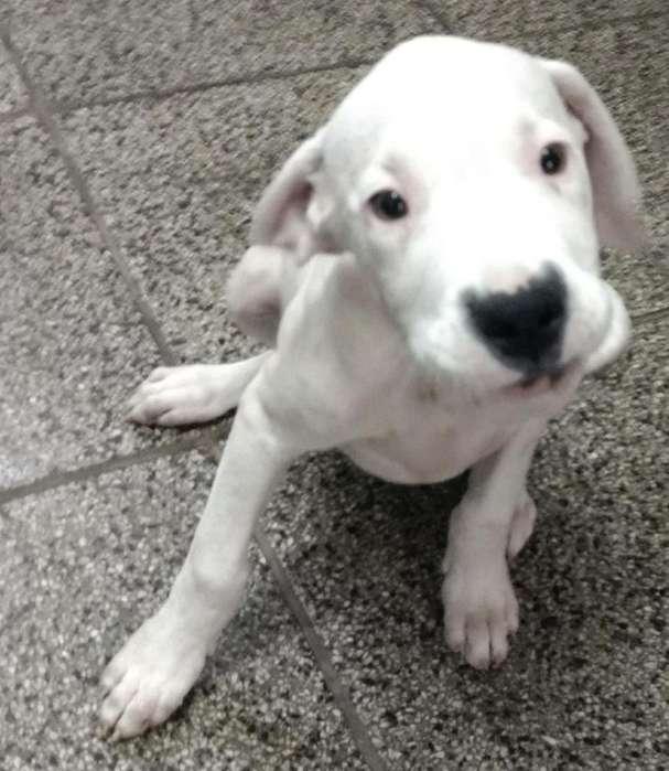 Dogos Argentinos