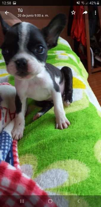 Lindos Bulldog Frances Hembra Y Macho