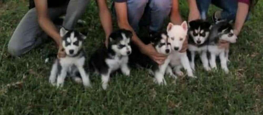 Venta de Huskies Siberianos