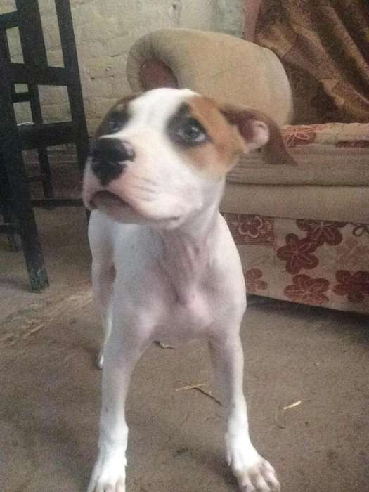 Vendo Cachorra Boxer de 3 Meses