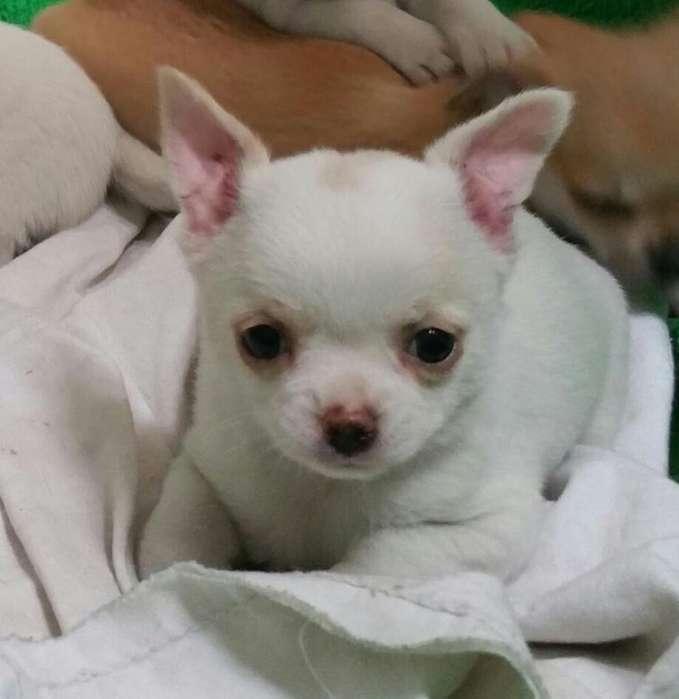 Chihuahuas Y Yorkshires Miraflores