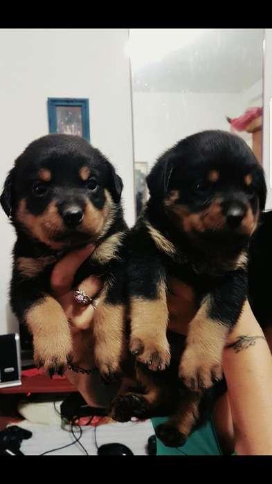 Vendo Cachorros Rottweiller Hermosos