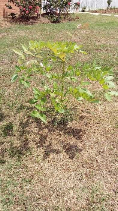 Plantula de Cedro Rosado de La India