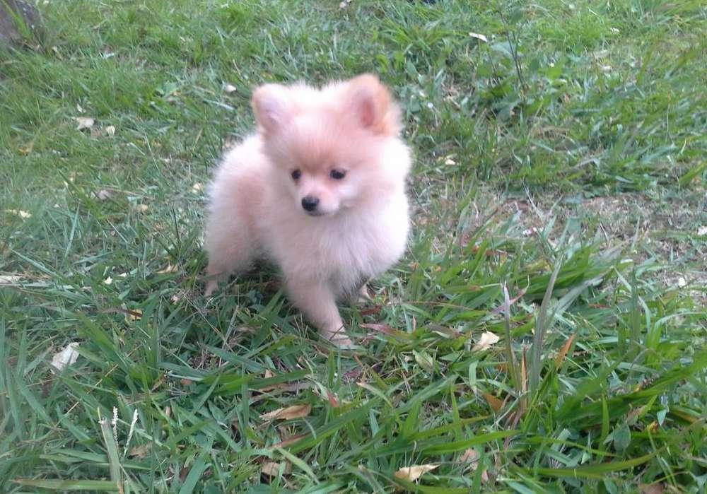 hermosos <strong>cachorro</strong>s pomerania whatsapp 3142822614