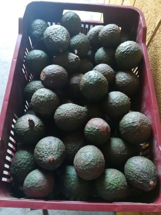 Aguacate Hass por Quintal