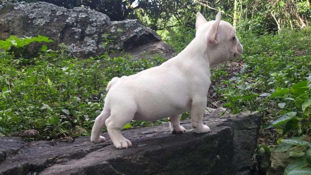 Bulldog Francés Cremas