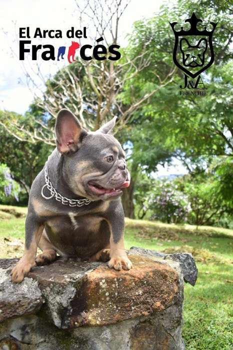 Servicio de Monta Bulldog Frances Lilac and Tan El arca del Frances