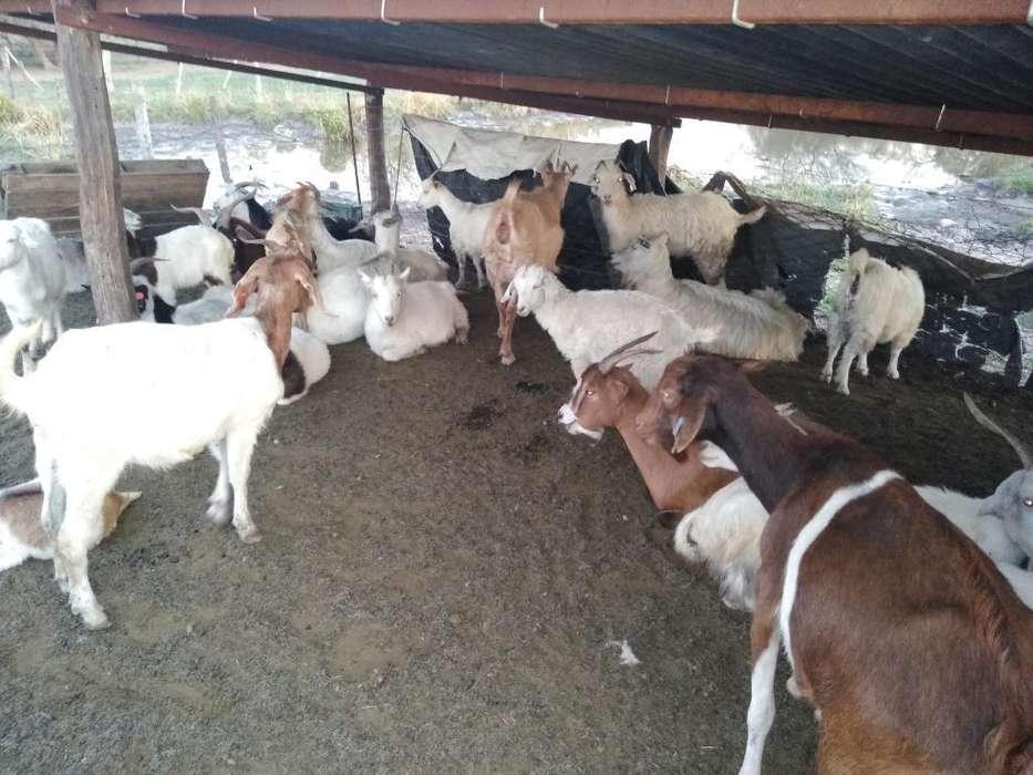 Lote de Chivos